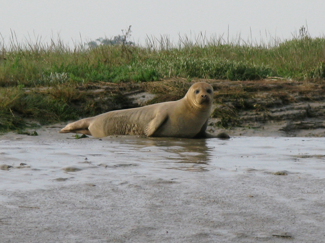 Seal on the bank of the River Stour