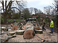 SK6548 : Tree felling in Epperstone churchyard : Week 50