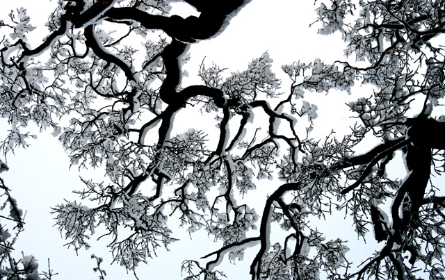 Snow-laden oak branches