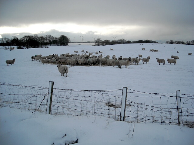 Hungry Sheep in Snowy Field