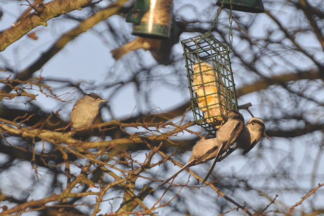 Blackcap and Long Tailed Tits