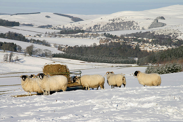 Sheep on Touting Birks Hill