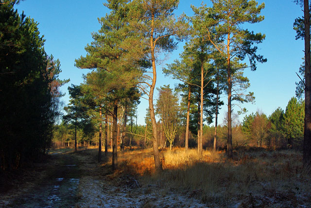 St Leonards Forest pines on a cold day