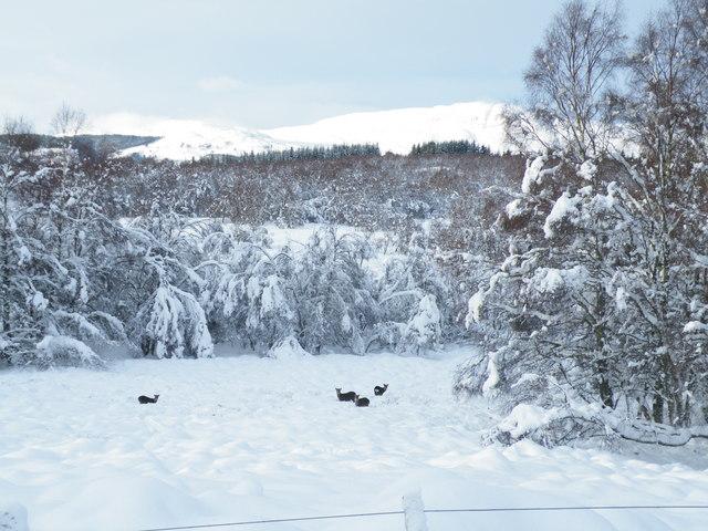 Deer in clearing near Tom a Mhoilinn