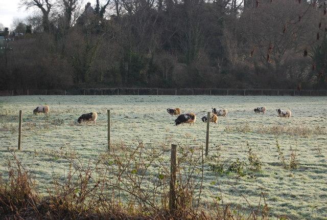 Sheep grazing off Abbey Rd, Washford