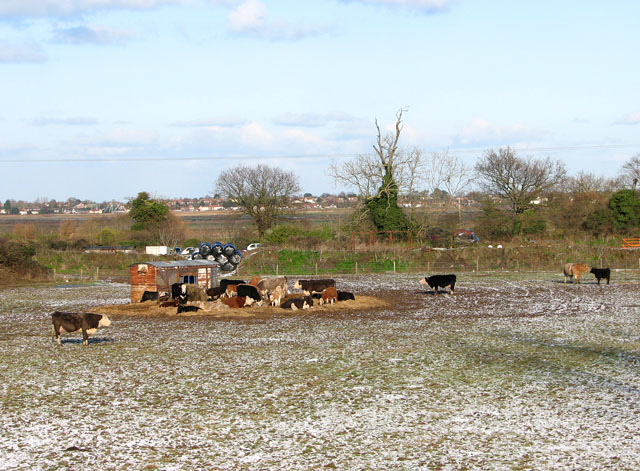 Cattle in pasture east of New Road