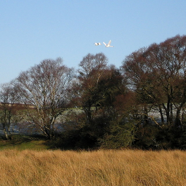 Mute swans in flight, Cors Caron Nature Reserve