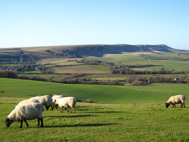 Sheep, Windover Hill
