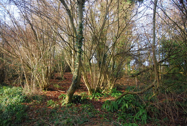 Coppiced trees, Roughmoor Copse