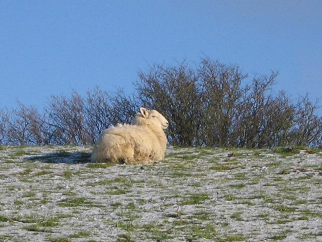 Sheep overlooking Cors Caron