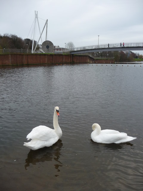Exeter : Swans in the River Exe