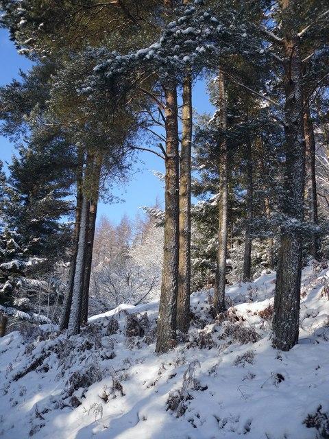 Winter Pines, Pernassie Hill