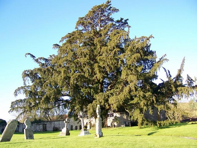 Yew Tree, St Mary's Church, Batcombe