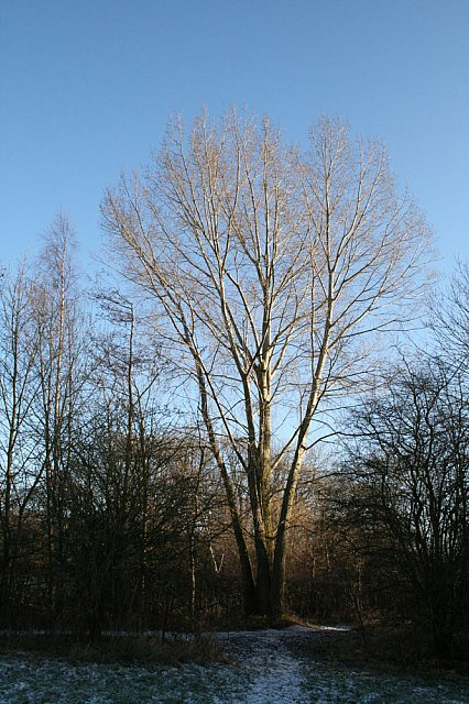 Multi-boled willow