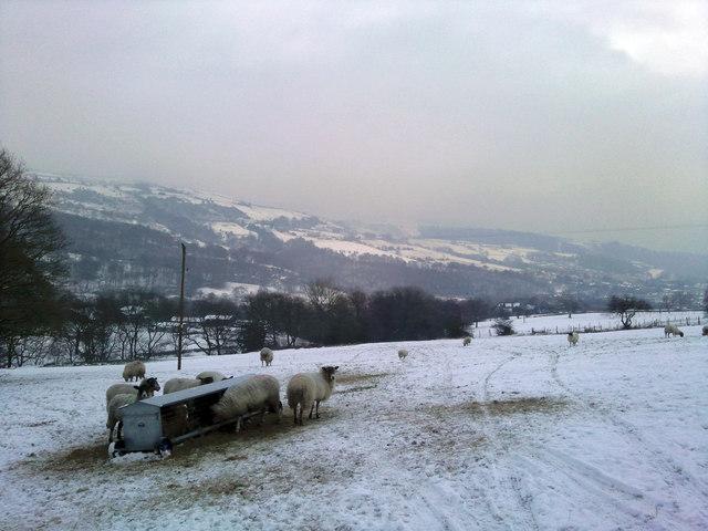 Sheep near Wood Top