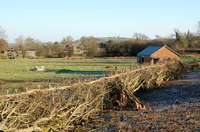 Newly-laid hedge beside A425, Lower Shuckburgh