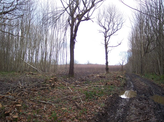 Coppiced Trees within Denge Wood