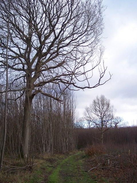 Oak Tree in Denge Wood