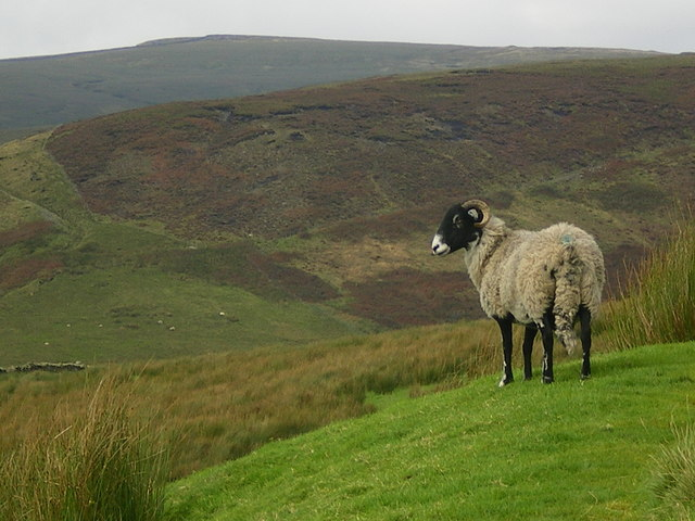 Sheep lower western slope of Middle Knoll.