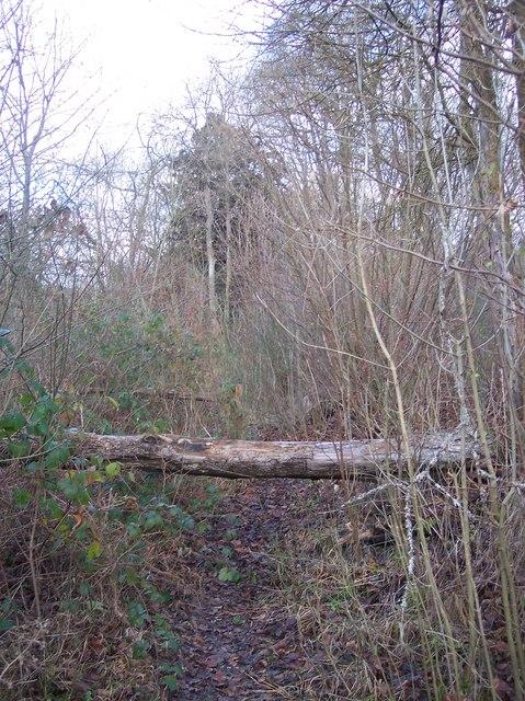Fallen tree on a footpath in Denge Wood