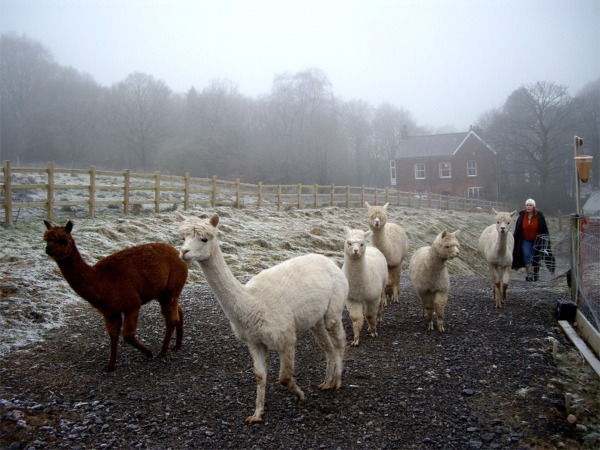 Alpacas in freezing paddock