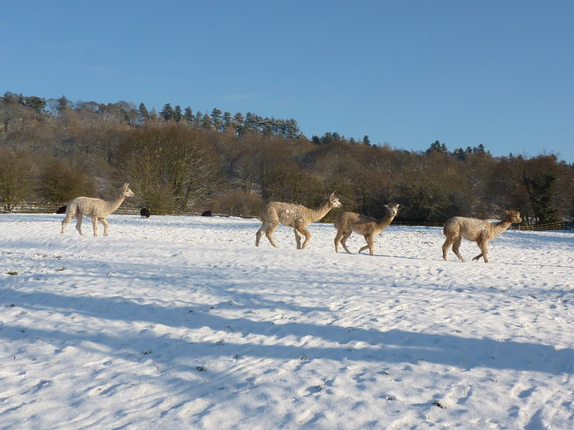 An Inflation of Alpacas in the snow, Bakewell