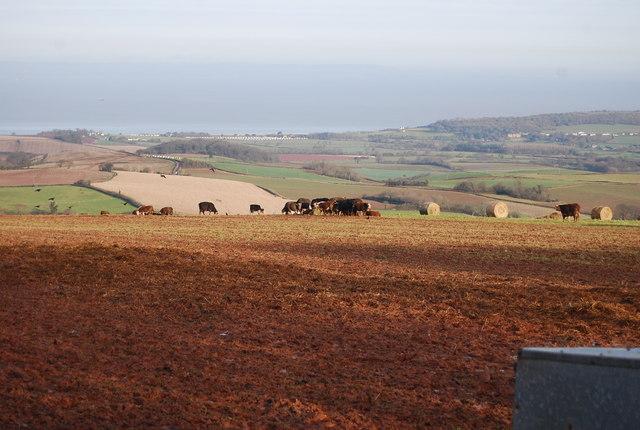 Cattle grazing west of Stringlands Lane