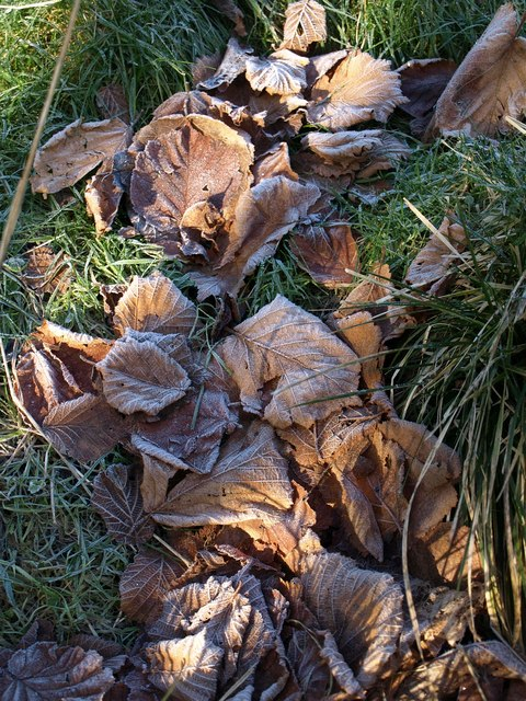 Frosty leaves near the Marlees Brook