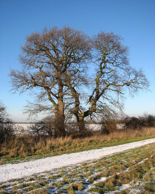 Trees growing beside snowy bridleway west of Hales Hall