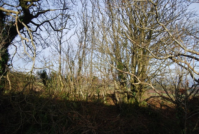 Coppiced trees by the track near Stouts Way Lane