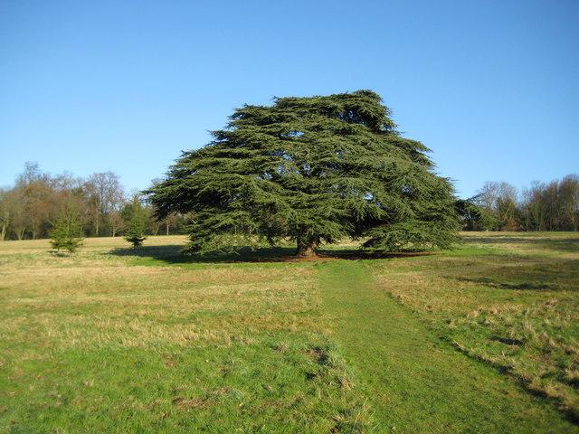 Watford: Cedar tree at The Grove