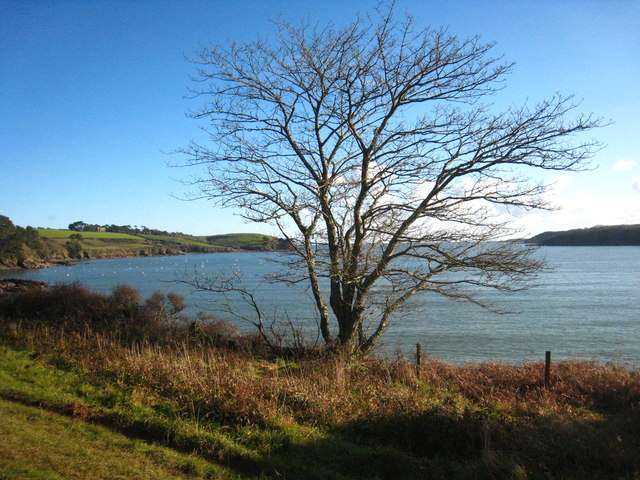 Young Beech tree by the Helford River
