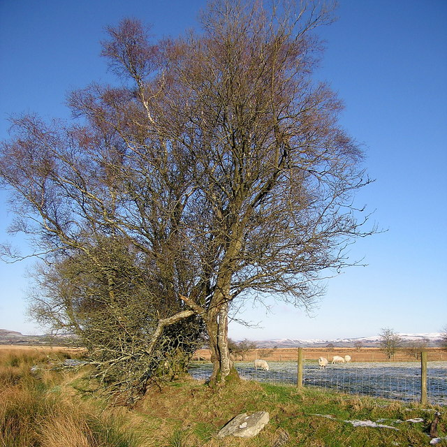 Tree at the edge of Cors Caron