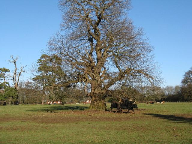 Cattle by big Oak on the Denne Park estate