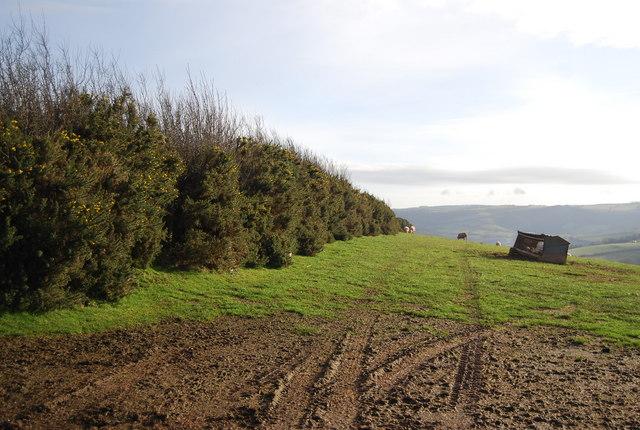 Gorse hedge by Stouts Way Lane