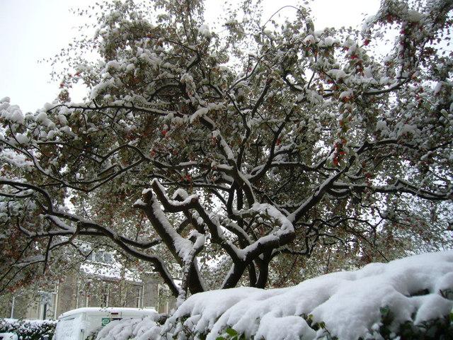 Tree, Gillespie Crescent