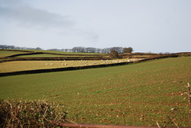 Sheep above Slowley Farm