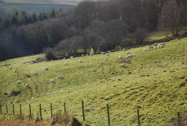 Sheep near Slowley Farm