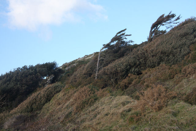 Windblown trees above Prussia Cove