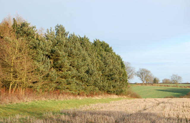 Conifer windbreak protecting plantation, Staverton
