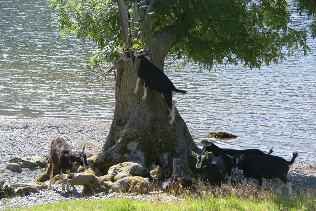Goats which climb trees