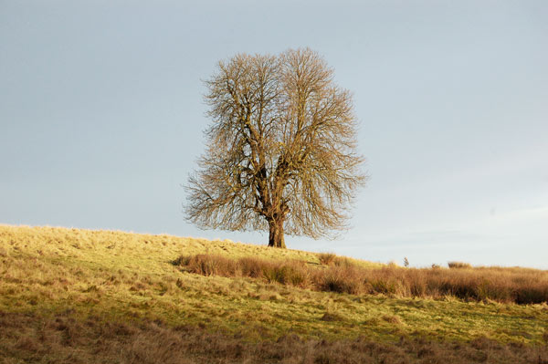 A solitary tree on the skyline south of Staverton