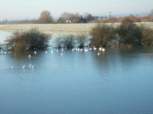 Swans - The Ouse Washes at Mepal