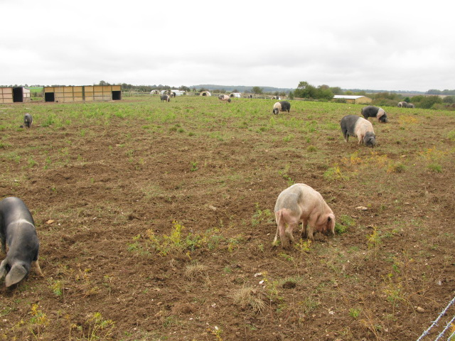 Free range pigs on The Old Downs, East Studdal
