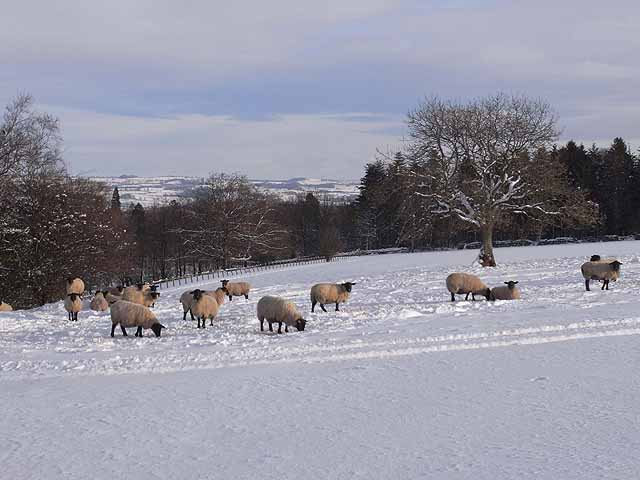 Sheep in the snow, above Loughbrow House