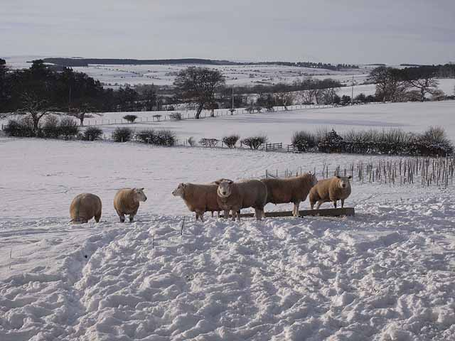 Sheep beside Causey Hill Road