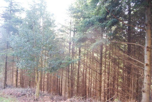 Conifers in Druid's Combe Wood