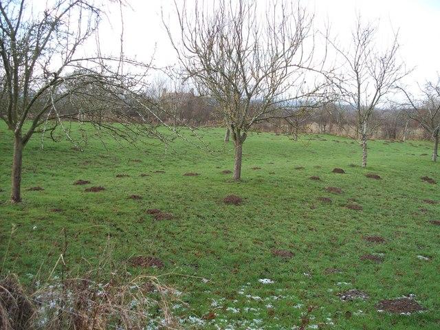 Mole orchard?