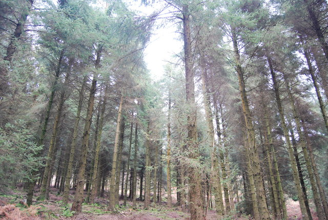 Conifers, Monkham Wood