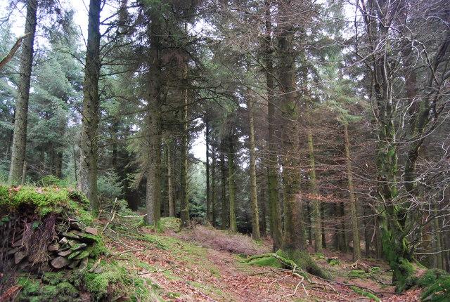 Conifers, Monkham Wood